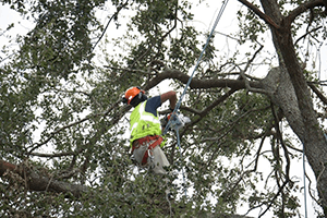 A professional hanging from a tree, trimming branches