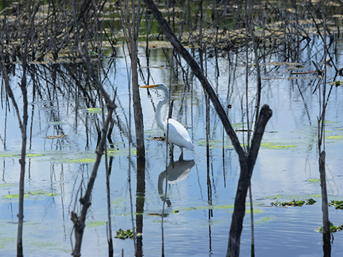 Egret bird standing in a pond
