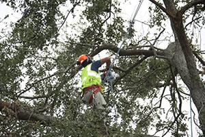 Un profesional podando las ramas de un árbol